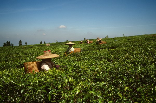 Tea pickers working in the field. In 2015, the UK obtained 79 per cent of all tea imports from developing countries. <br/ > Photo: ©J. Micaud / FAO