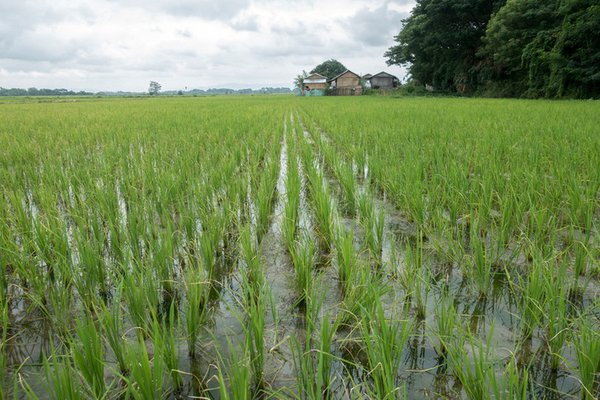 Less-intensive use of fertilizers during rice cultivation is needed to protect the environment.<br/> Photo: © IFAD / Irshad Khan