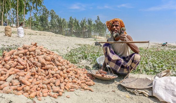 A man weighing harvested orange-fleshed sweetpotato growing along the banks of the Brahmaputra River in Northern Bangladesh