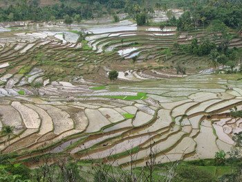 Rice paddies in Indonesia. Rice is this region's most important staple food.
