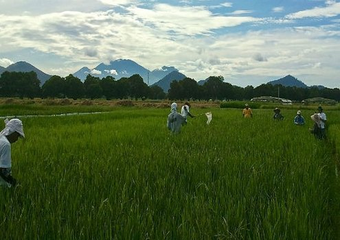 Rice – the main staple food for billions of people in the world.<br/> Photo: IRRI