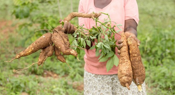 [Translate to Français:] cyanide-free cassava