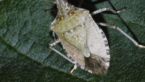 Insects like the stink bug could contribute to the world's food security
