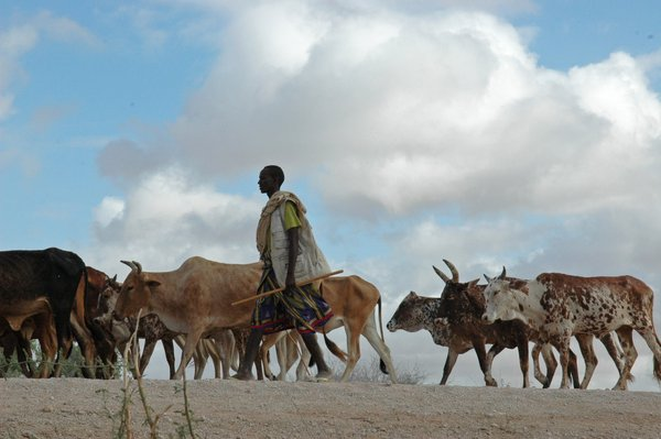 A farmer taking cattle to the livestock market, Garissa, Kenya. Farmers are facing the challenges of climate change. <br/> Photo: ©FAO/Thomas Hug