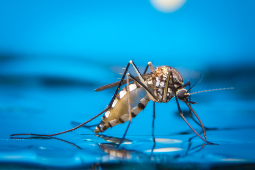Genetically modified fungus to fight malaria
