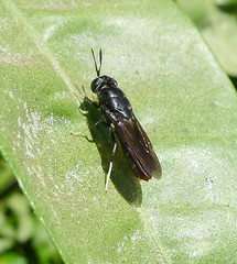 The Black Soldier Fly (Hermetia illucens)